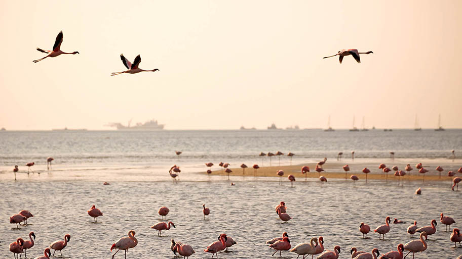 Flamingos flying and feeding in shallows with large boats behind, Walvis Bay harbour, Namibia