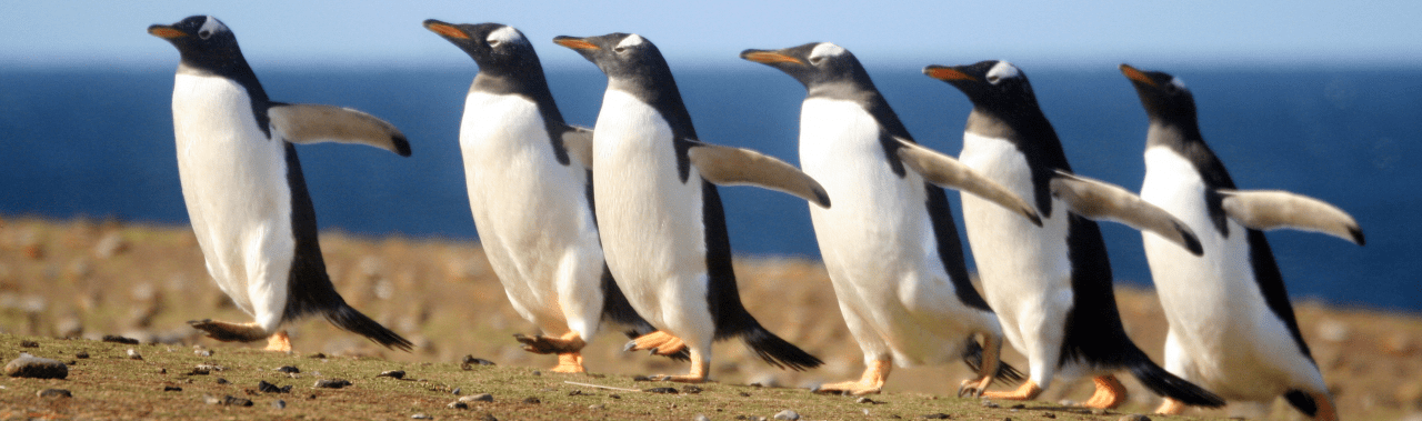 A line of penguins walking on a beach.