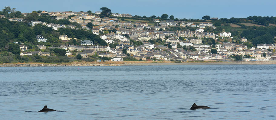 Two porpoises breaching surface of water with beach and houses in background