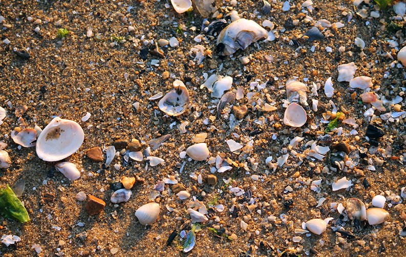 Shells on shore in Chesapeake Bay
