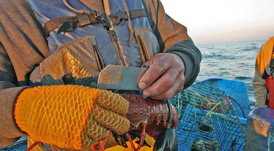 Fisherman's torso with metal ruler in hand, measuring lobster. Lobster traps and sea in background