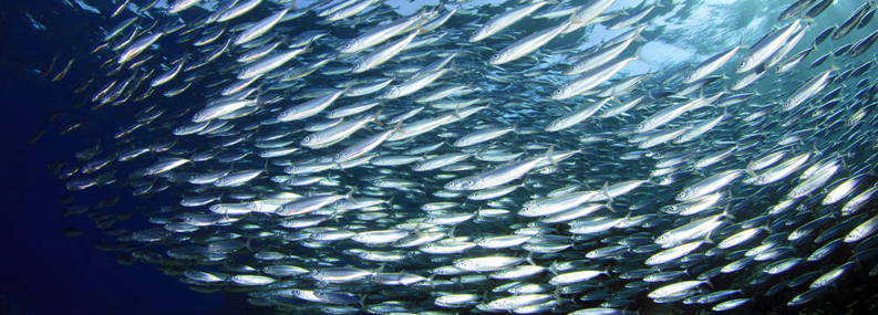 A school of fish swimming in the ocean.