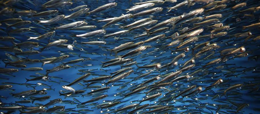 Pacific sardine Sardinops sagax shoal underwater