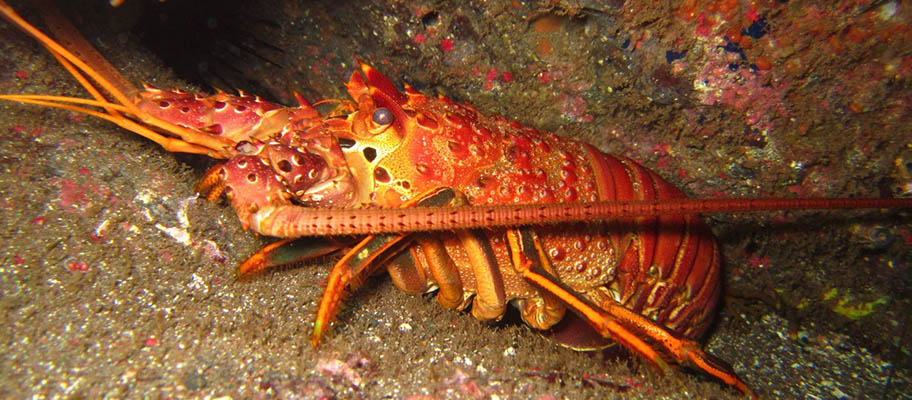 A red rock lobster close-up between rocks