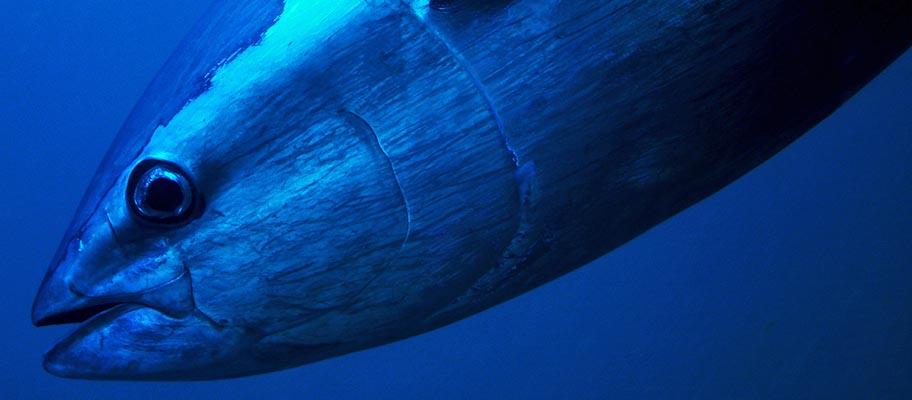 Close up of tuna underwater
