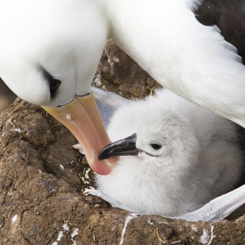 Albatross seabird with offspring