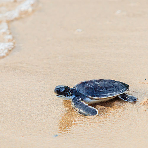 Baby turtle on beach moving towards the water