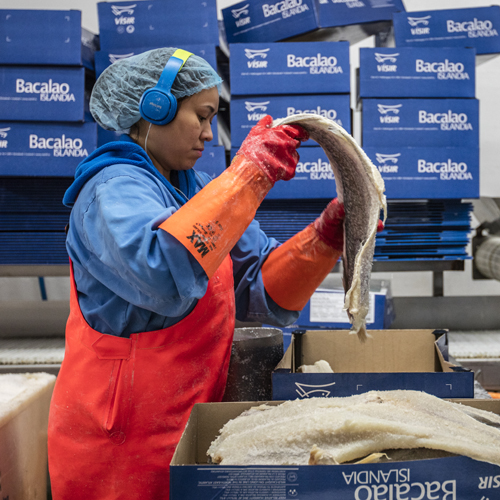 Woman processing salted cod (Bacalao) at Visir, Grindavik, Iceland