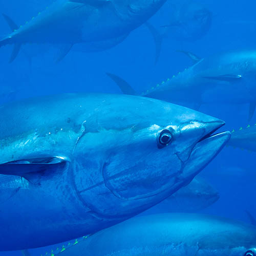 Bluefin tuna head, close-up with other tuna swimming behind