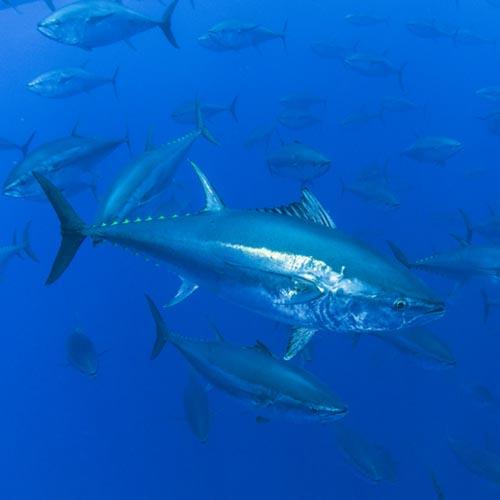 Bluefin tuna underwater