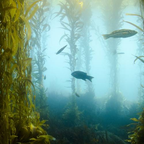 Kelp forest underwater with fish