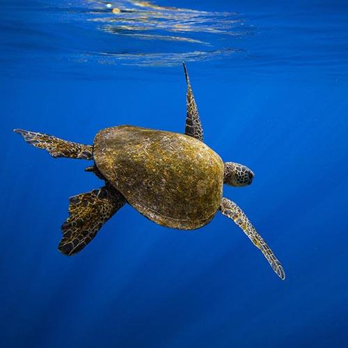 Green turtle swimming underwater