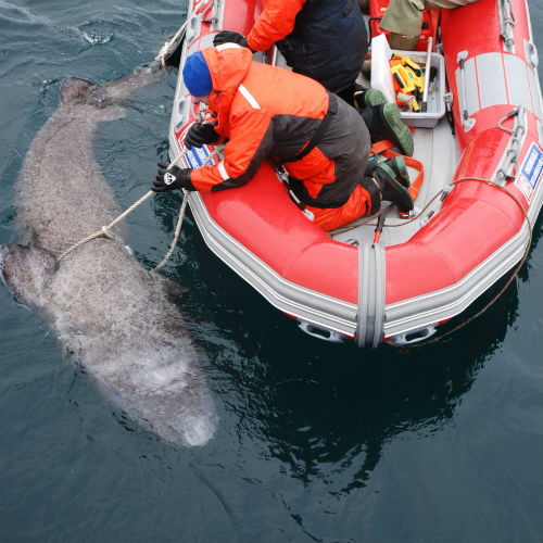 Greenland shark being tagged
