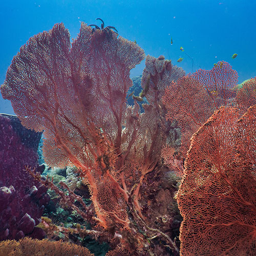 A gorgonian coral fan