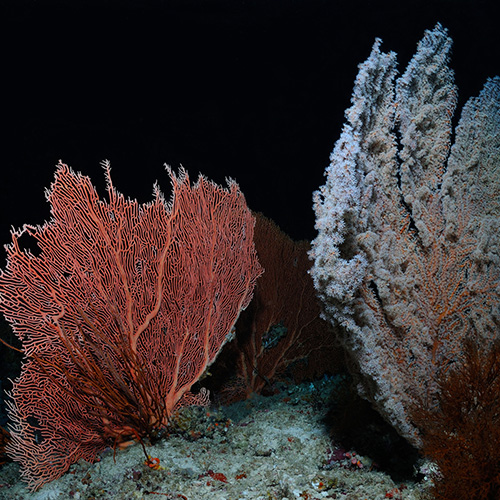Red and grey hard corals growing on the bottom of the ocean, a diver's light shining on them