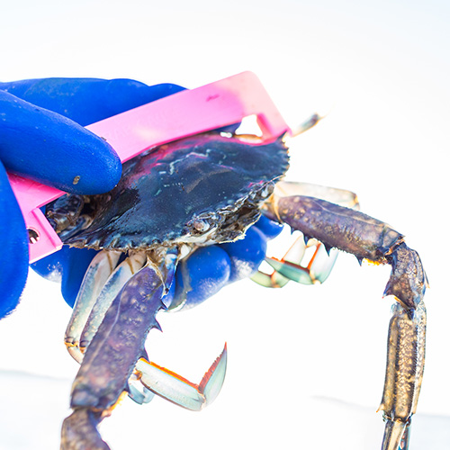 A hand holding a Blue Swimming crab to measure its size