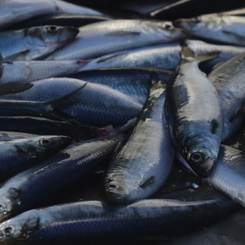 North sea herring fish