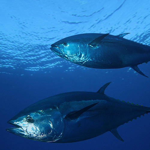 Pair of bluefin tuna underwater