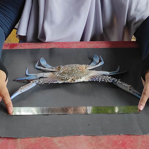 Hands with metal ruler measuring crab on table