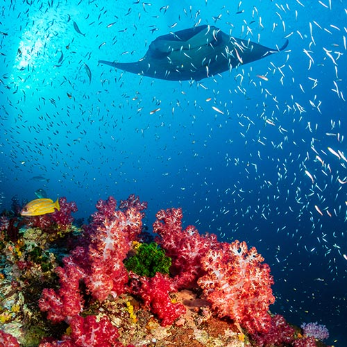 Colourful coral with shoal of small fish and manta ray swimming above