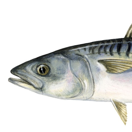 An illustration of a mackerel fish