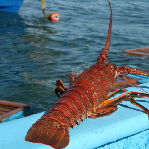 Baja Californian Mexican Red rock lobster
