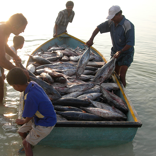Fishermen landing skipjack tuna in small boat, Lakshadweep, India