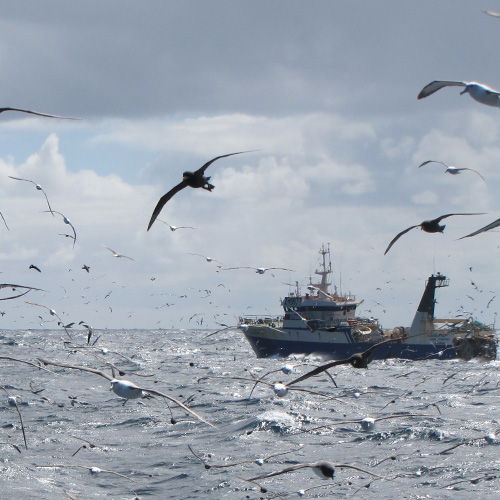 A flock of seagulls flying over the ocean and in front of a fishing vessel (far right)