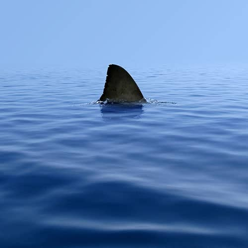 A shark fin rising out of the water