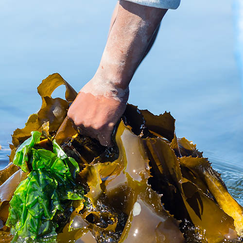 Hand pulling kelp from water, South Africa