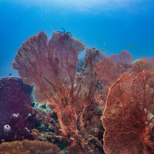 Underwater close-up of a red Gorgonian Sea Fan on a coral reef