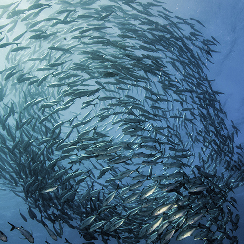 Underwater detailed shot of fish schooling