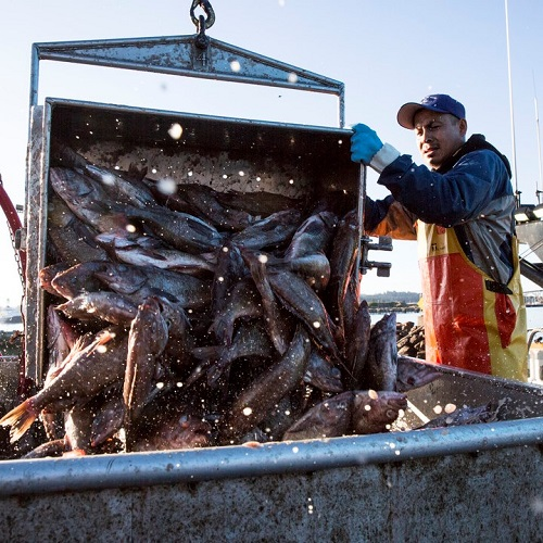 Fisherman adding fish to ice bucket