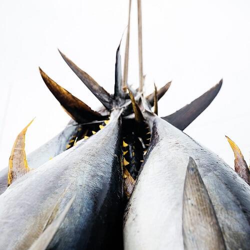 Gevangen tonijn