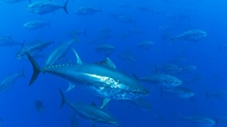 Blauwvin tonijn