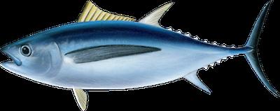 Ilustracja tuńczyka białego
