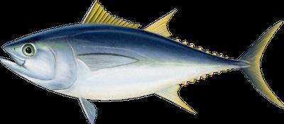 Ilustracja tuńczyka wielkookiego (opastuna)