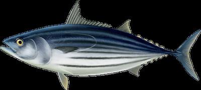 Ilustracja tuńczyka bonito