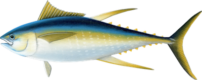 Ilustracja tuńczyka żółtopłetwego