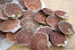MSC certified Shetland scallops